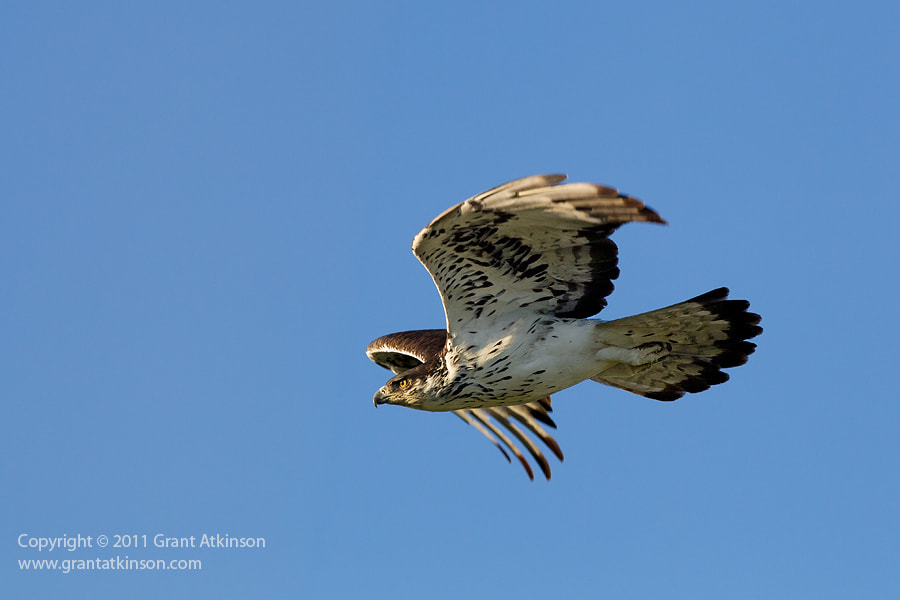 Photograph African Hawk-eagle Flight by Grant Atkinson on 500px