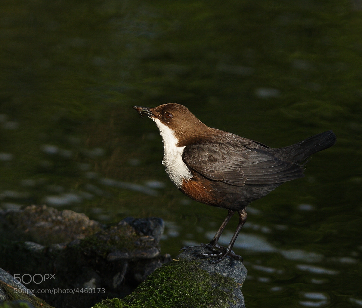 Photograph Dipper (Cinclus cinclus) by Vic.  Parsons. on 500px