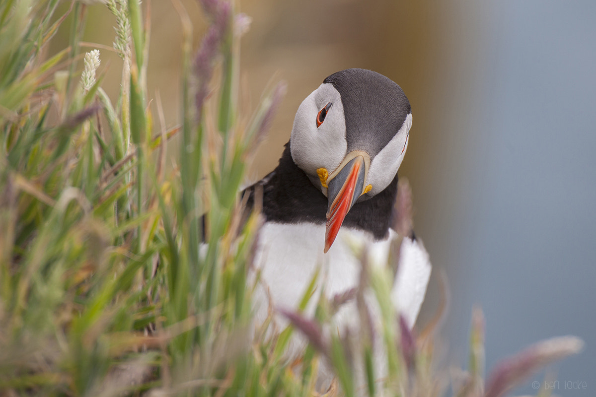 Photograph Atlantic Puffin by Ben Locke on 500px