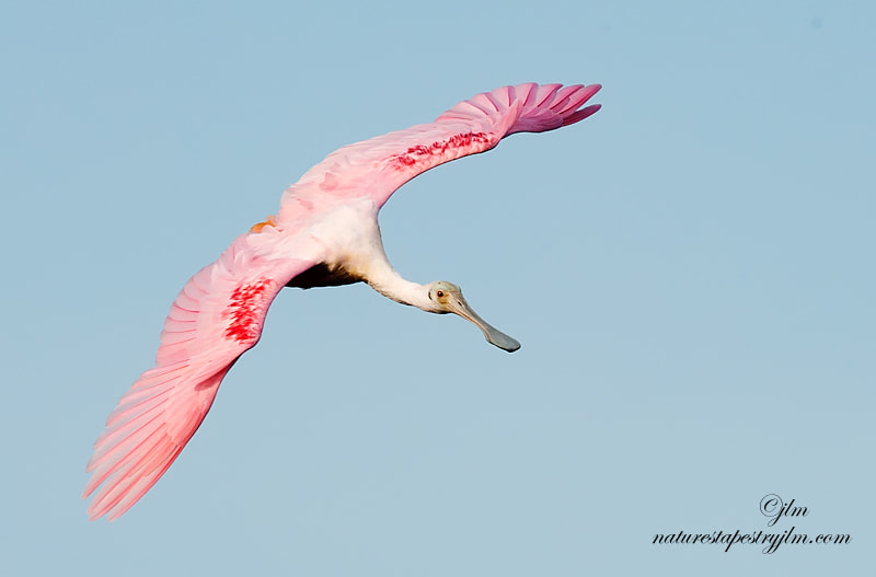This image was captured last week as the roseate spoonbill was making the turn to come in for a landing.  They never disappoint us with their beauty and grace.