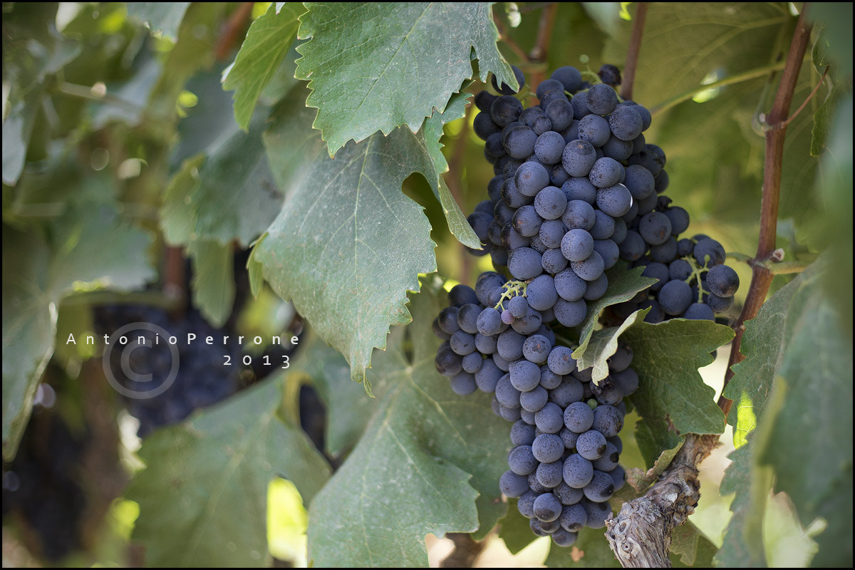 Photograph Sangiovese by Antonio Perrone on 500px