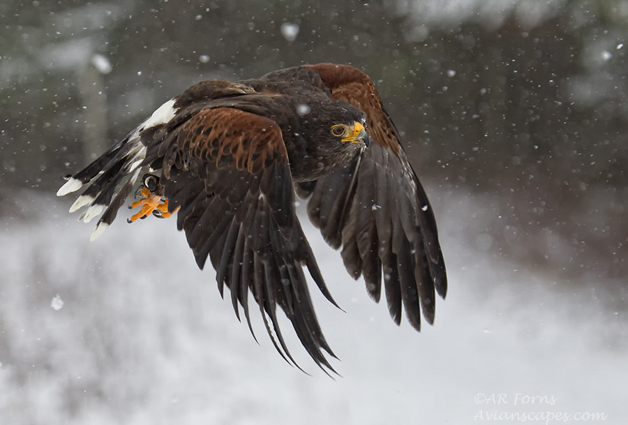 Photograph Harris Hawk  (C) by Alfred Forns on 500px
