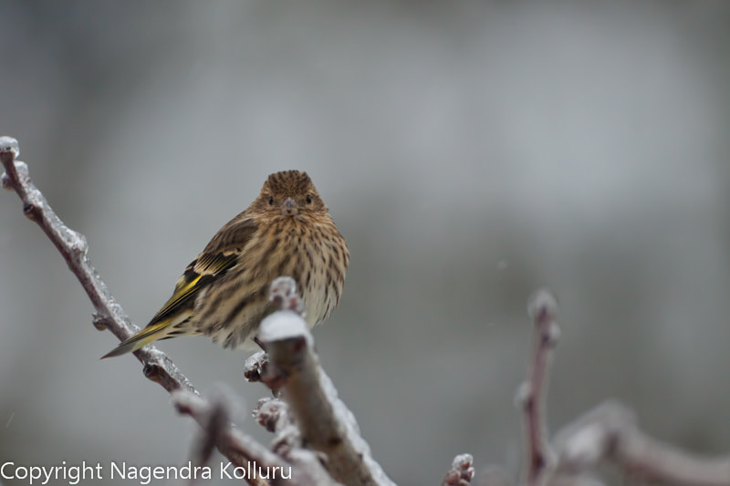 Photograph Pine Siskin by Nagendra Kolluru on 500px
