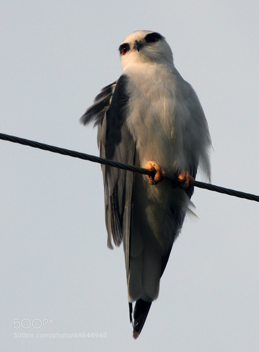 Photograph Black Shouldered Kite Rapter by Kannan  on 500px