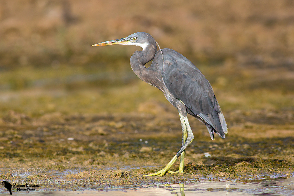 Photograph Western Reef Heron (Egretta gularis) by Zoltan Kovacs on 500px