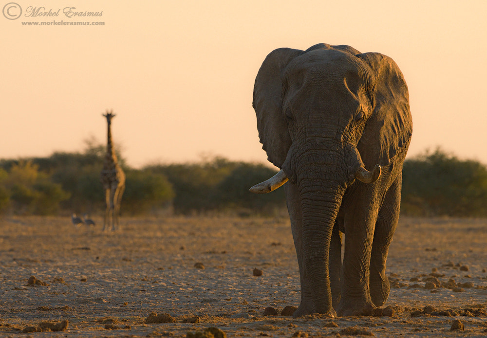 Photograph Two Gentle Giants by Morkel Erasmus on 500px