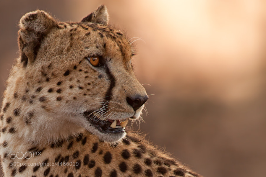 Photograph Cheetah Portrait by Mario Moreno on 500px