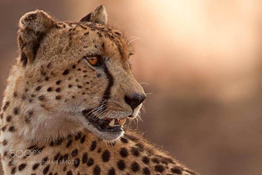 Photograph Cheetah Portrait by Mario Moreno on 500px