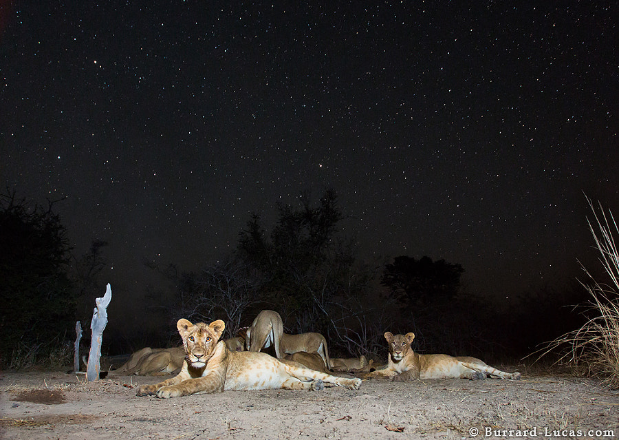 BeetleCam's first foray into the field of astrophotography! This was a single long exposure with the foreground illuminated at the beginning of the shot. I was in complete darkness as I waited for the stars to expose. It was rather unnerving given my proximity to the pride of ravenous lions!