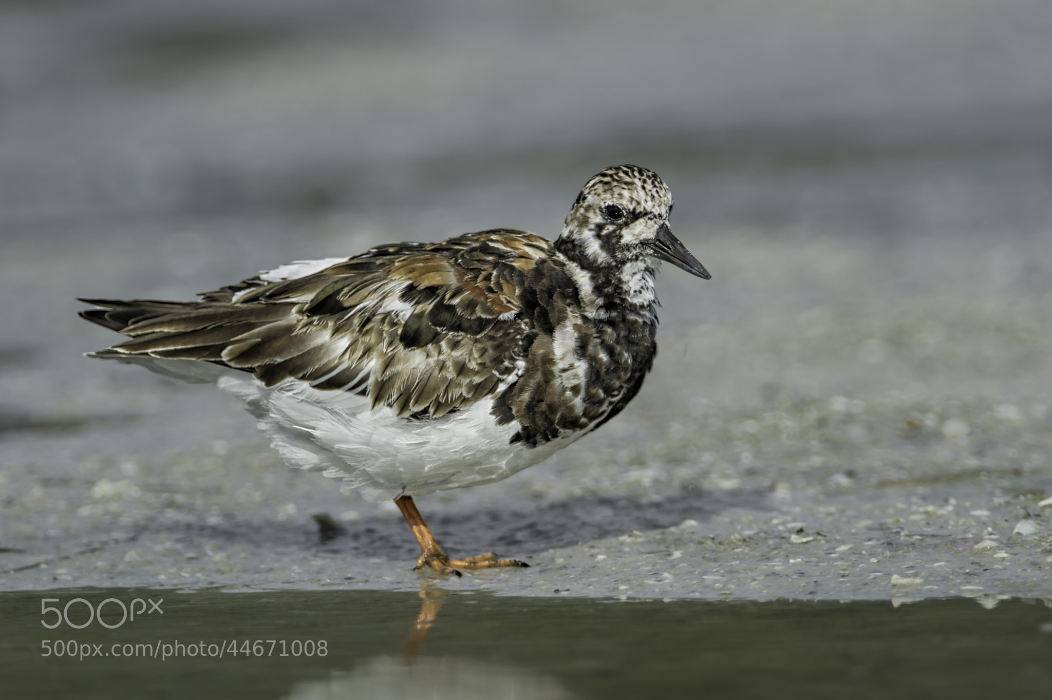 Photograph Ruddy Turnstone by Daniel Parent on 500px