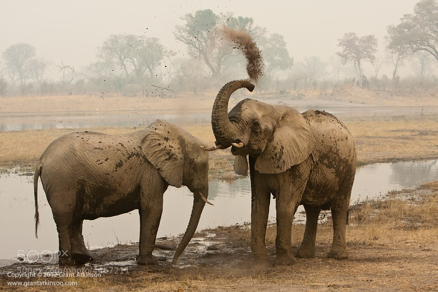 Photograph Dust Bathing Elephants by Grant Atkinson on 500px