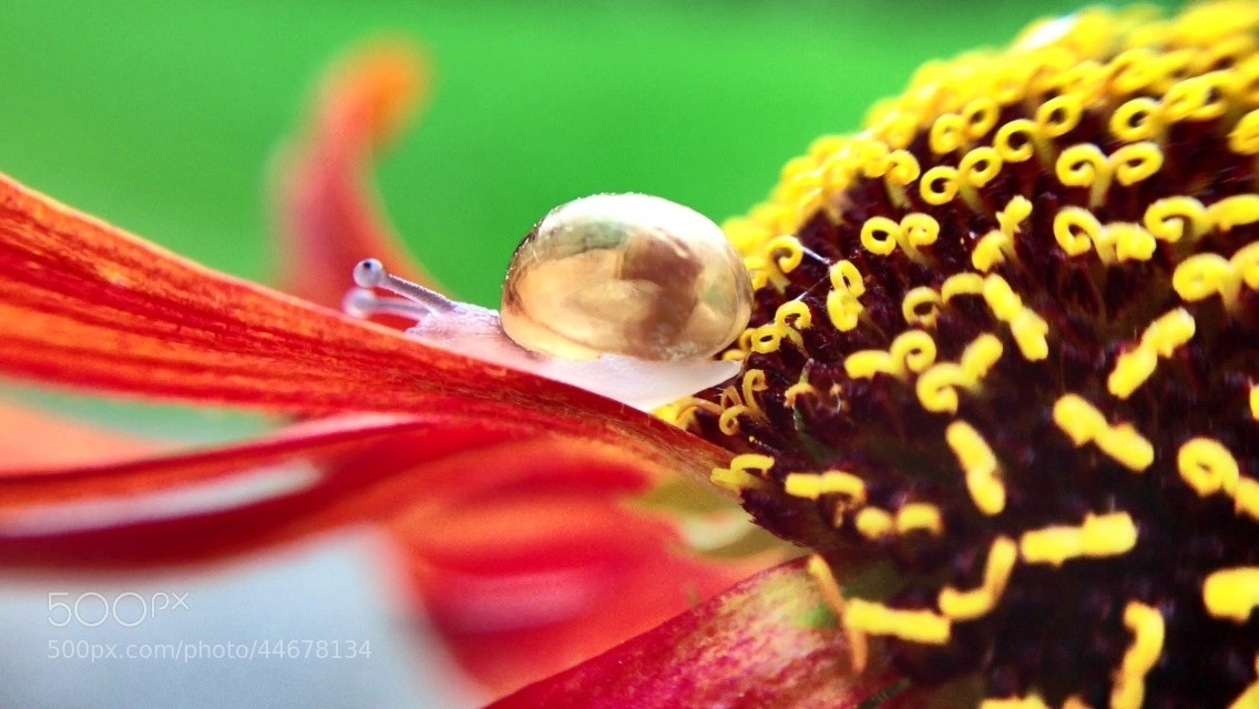 Photograph Baby snail on helenium by Karthik Gellia on 500px