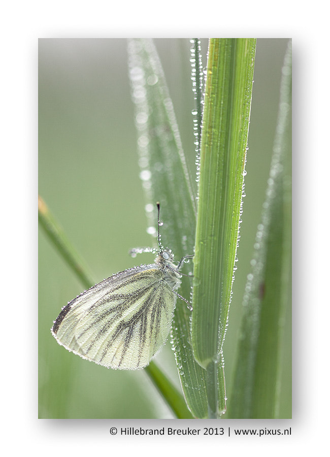 Photograph Green-vained White by Hillebrand Breuker on 500px