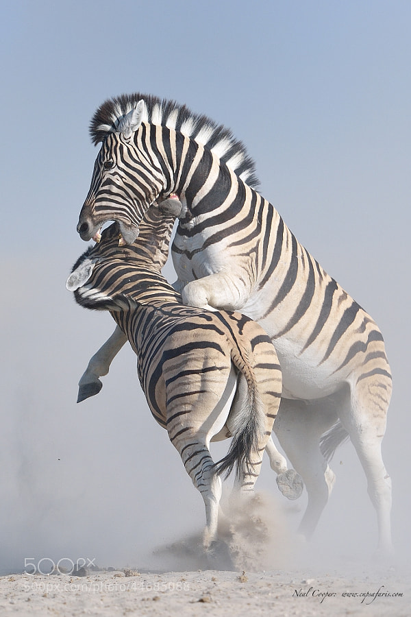 Photograph Zebra battle by Neal Cooper on 500px