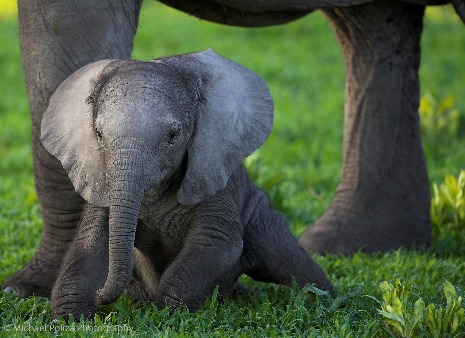 Photograph Baby Elephant by Michael Poliza on 500px