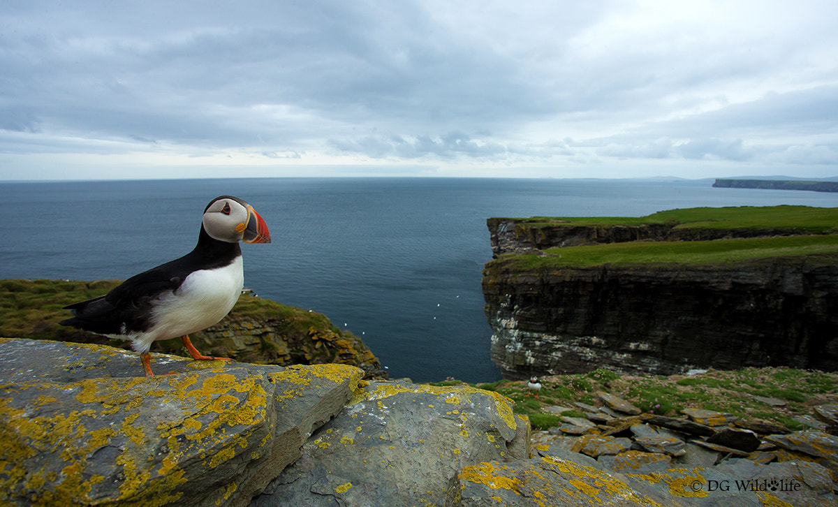 Photograph Atlantic Puffin by Giedrius Stakauskas on 500px