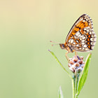 Постер, плакат: Heath Fritillary