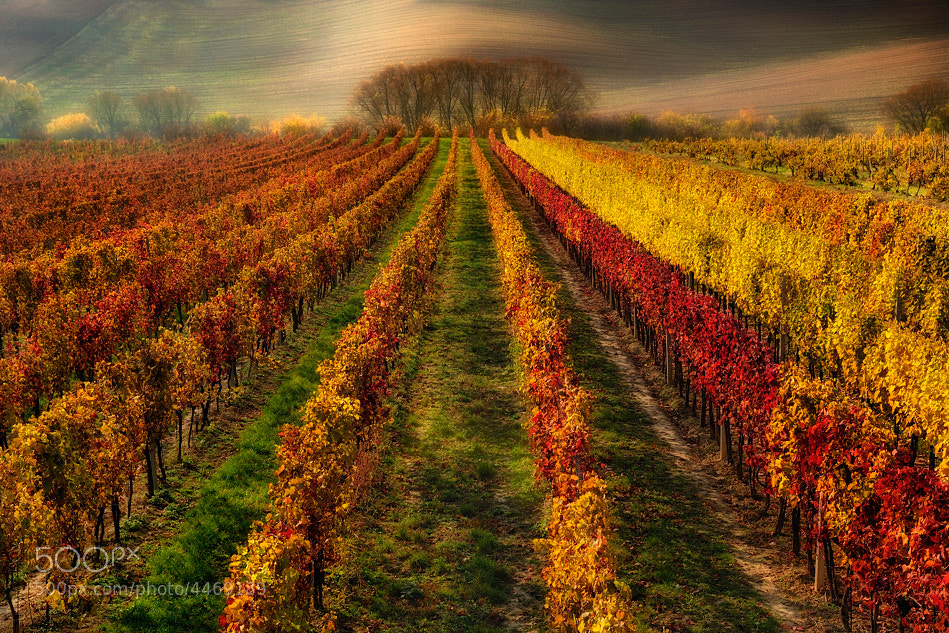 Photograph Vineyard painted by autumn... by Pawel Kucharski on 500px