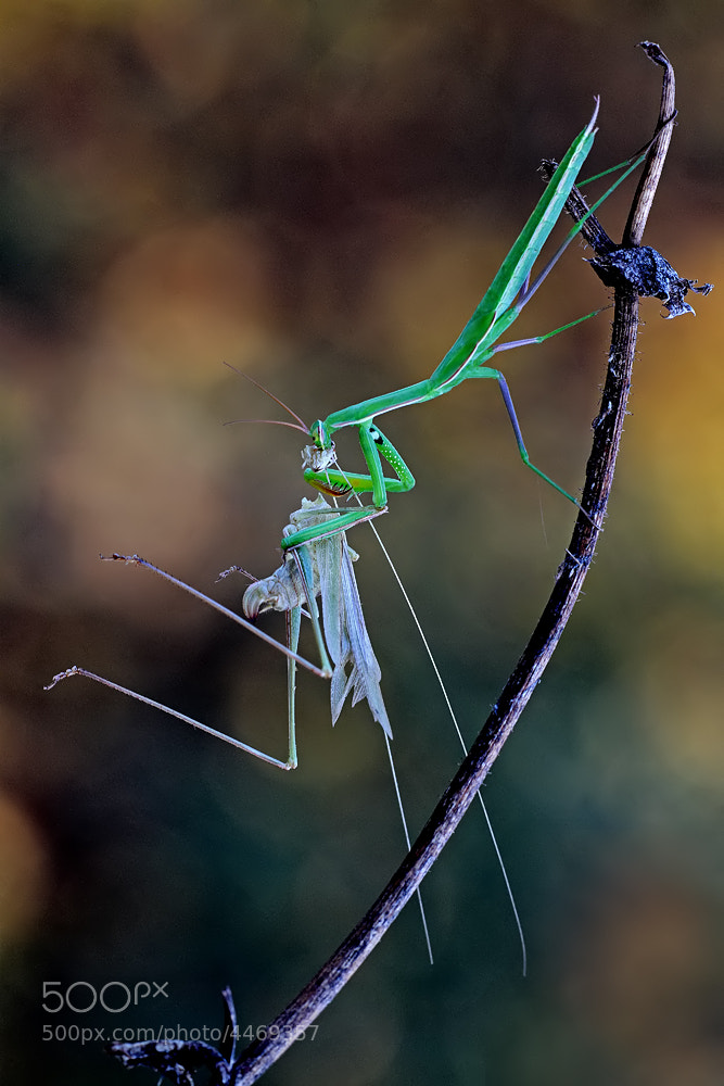 Photograph the meal of the mantis by ivo pandoli on 500px