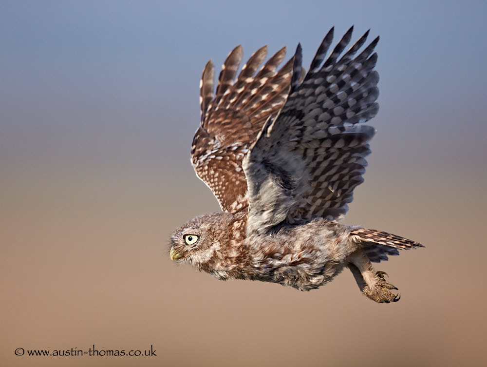 Photograph Baby Little Owl in flight... by Austin Thomas on 500px