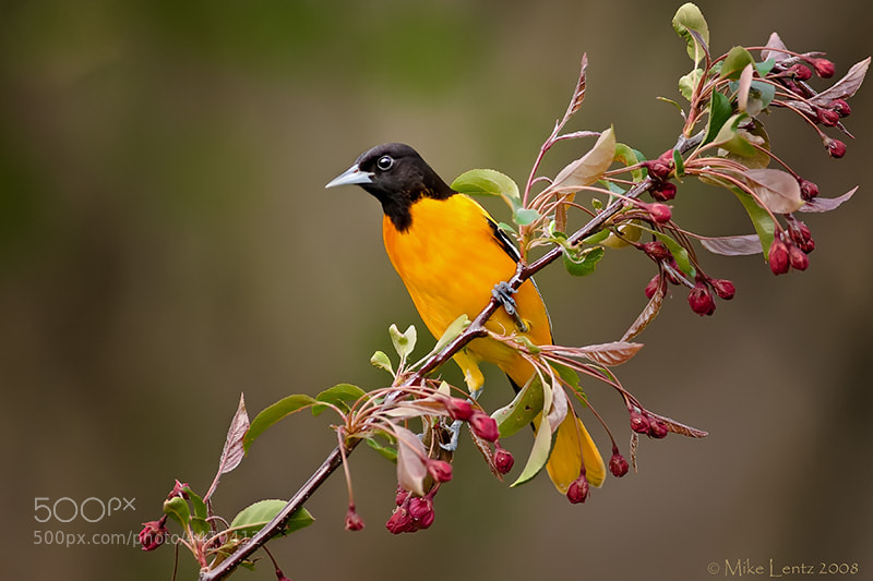 Photograph Baltimore Oriole  by Mike  Lentz on 500px