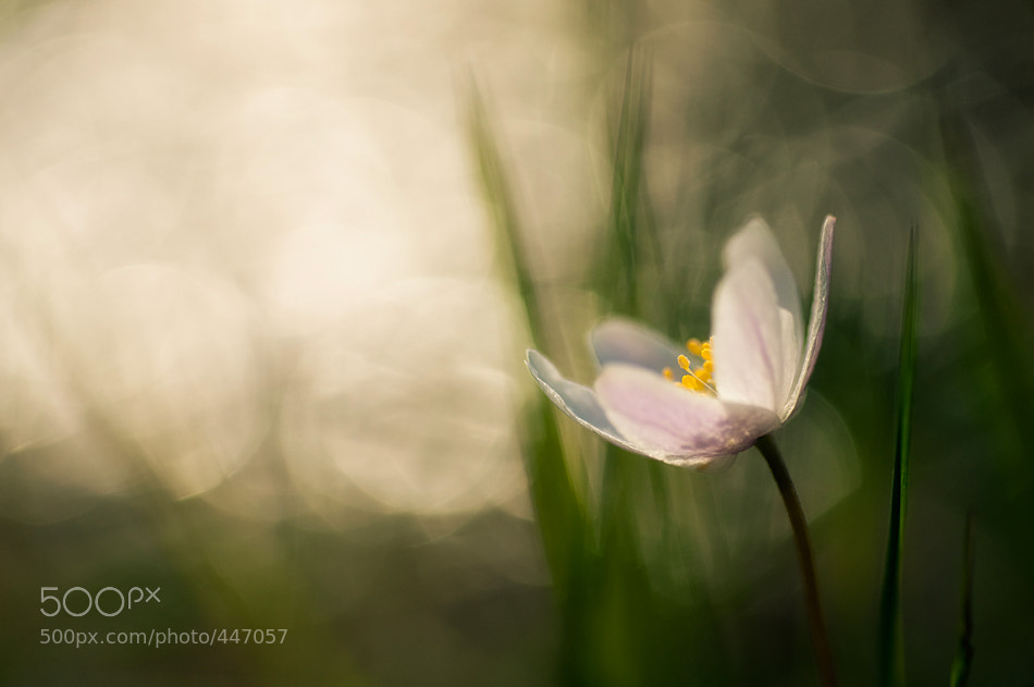 Photograph Spring Flower by Mikko Lagerstedt on 500px