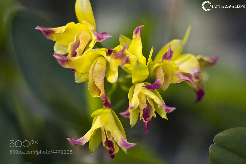 Photograph Yellow Orchid by Mattia Zavalloni on 500px