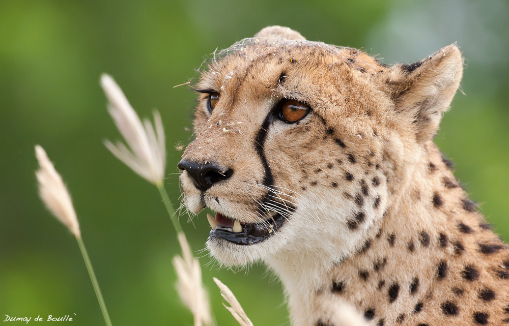 Photograph Cheetah (2012-01-14) by Dumay  de Boulle' on 500px