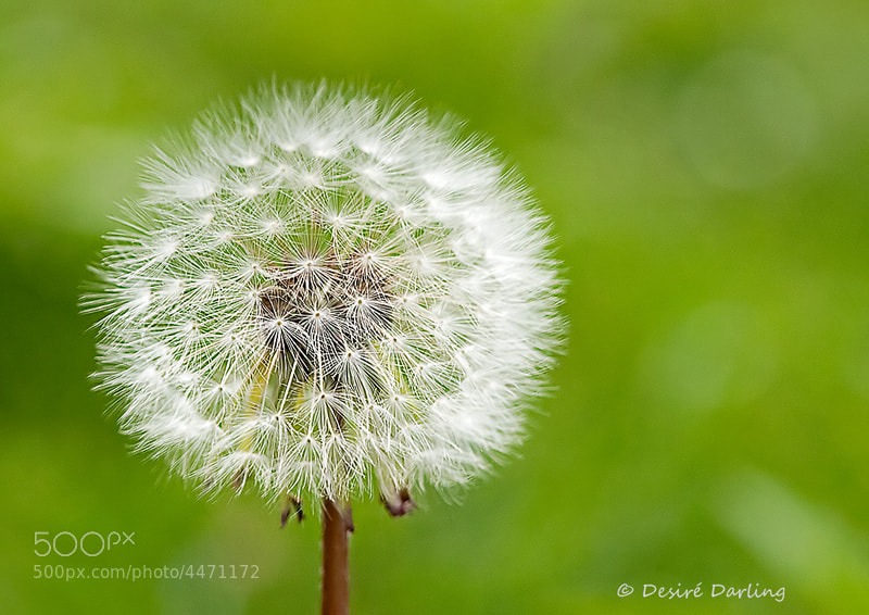 Photograph Taraxacum Officinale by Desiré Darling on 500px