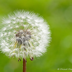 Taraxacum Officinale by Desiré Darling (ddarling)) on 500px.com