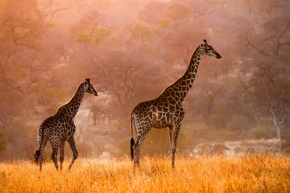 Photograph Giraffes in the morning by Gorazd Golob on 500px