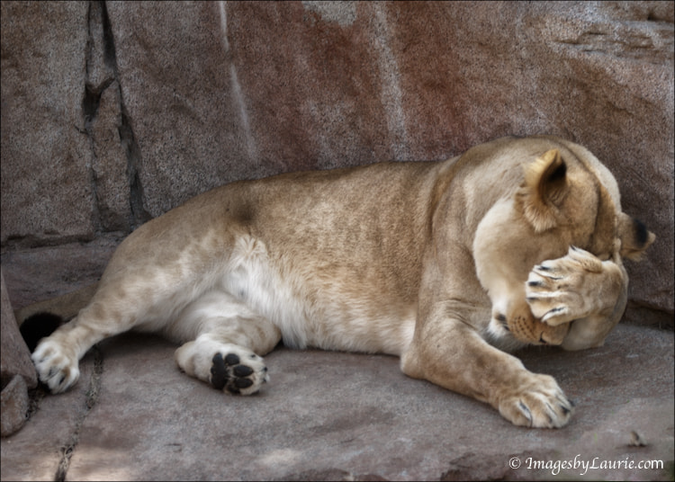 Big Cat Hangover