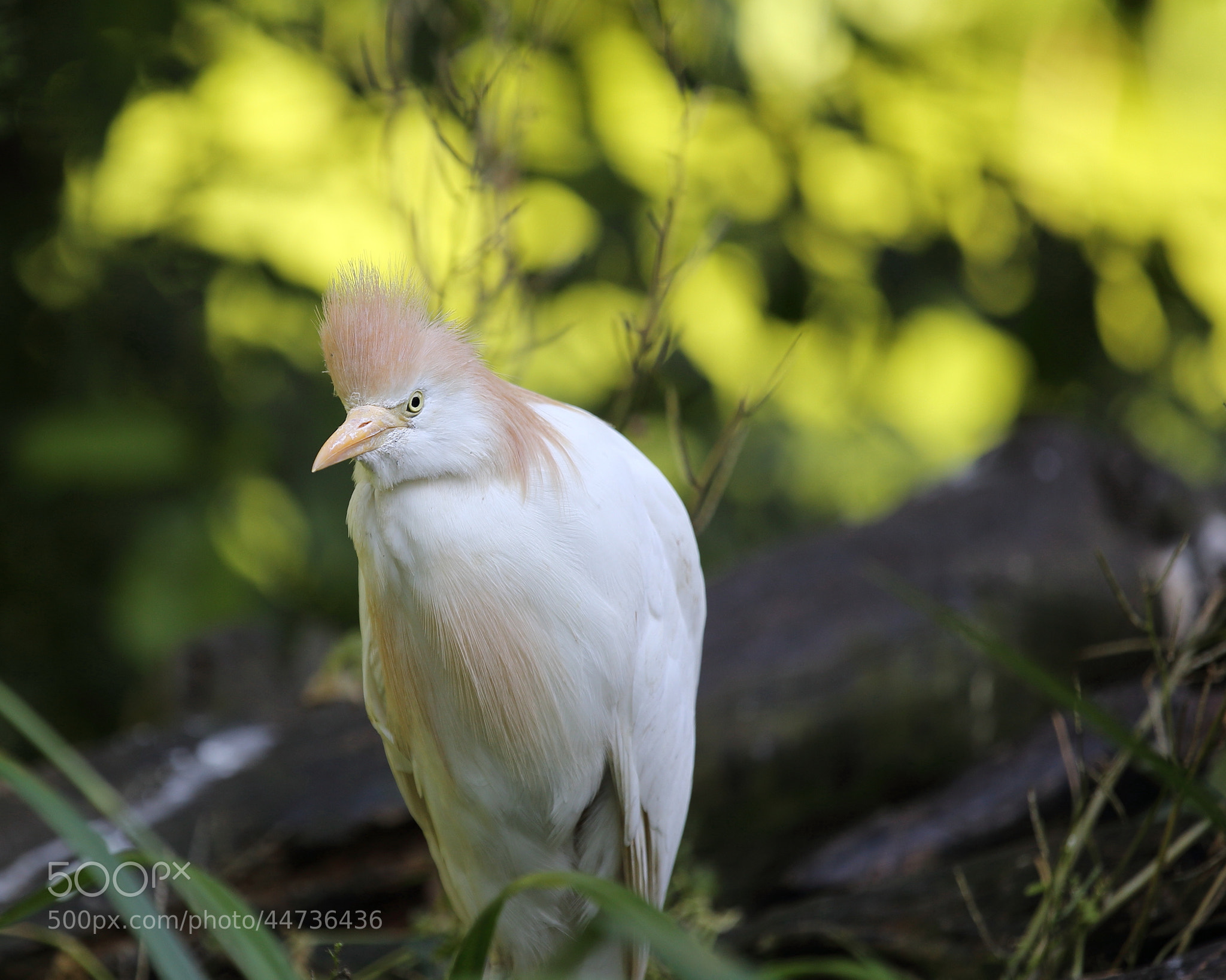 Photograph Cattle Egret by Eva Lechner on 500px