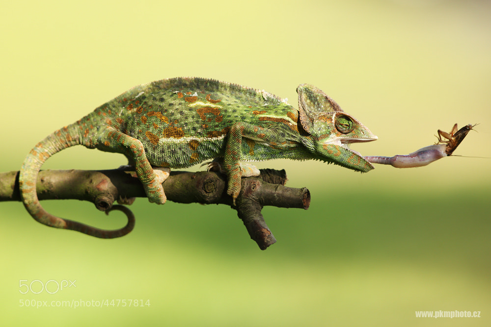Photograph Chameleon by Peter Krejzl on 500px