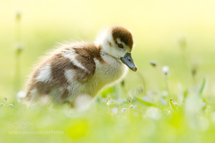 Photograph Gosling by Roeselien Raimond on 500px