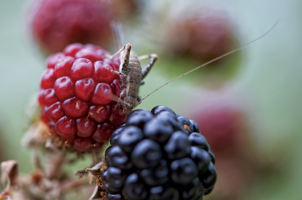 Photograph The cricket and blackberry by Paolo Costantino on 500px