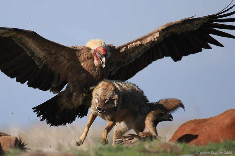 Photograph Griffon Vulture and Jackal by Yoram Shpirer on 500px