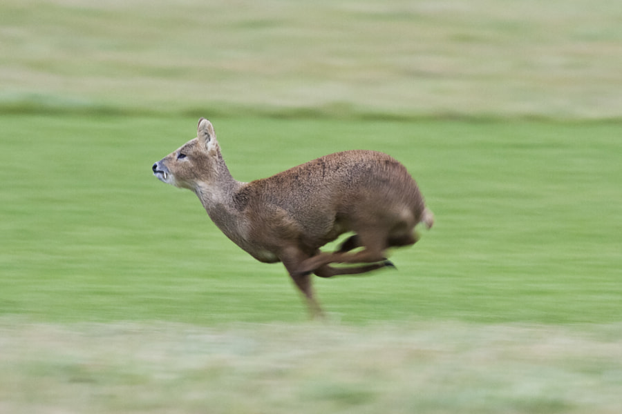 Chinese water deer by Simon Alderton on 500px.com