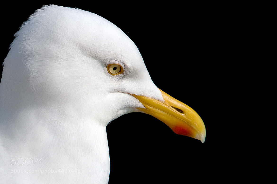 Photograph Sea gull by Kristof VT on 500px