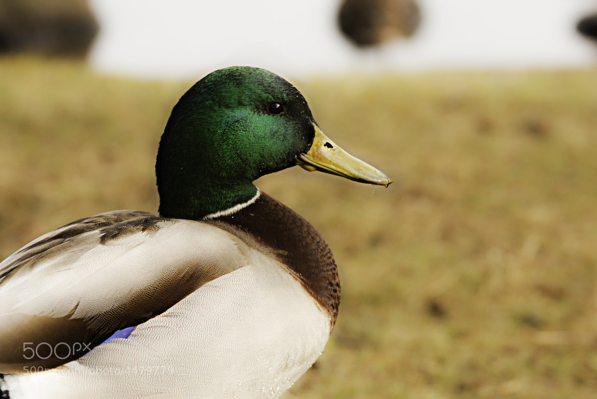 Photograph Mr Duck! by Annette Nielsen on 500px