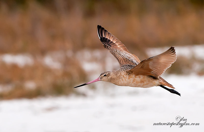 This was taken late in the day and the sky wass golden and this marbled godwit which I had seen off in the distance flew past me and it was really a grab shot.  they are so beautiful and especially when they have they are sporting their mating colors.
