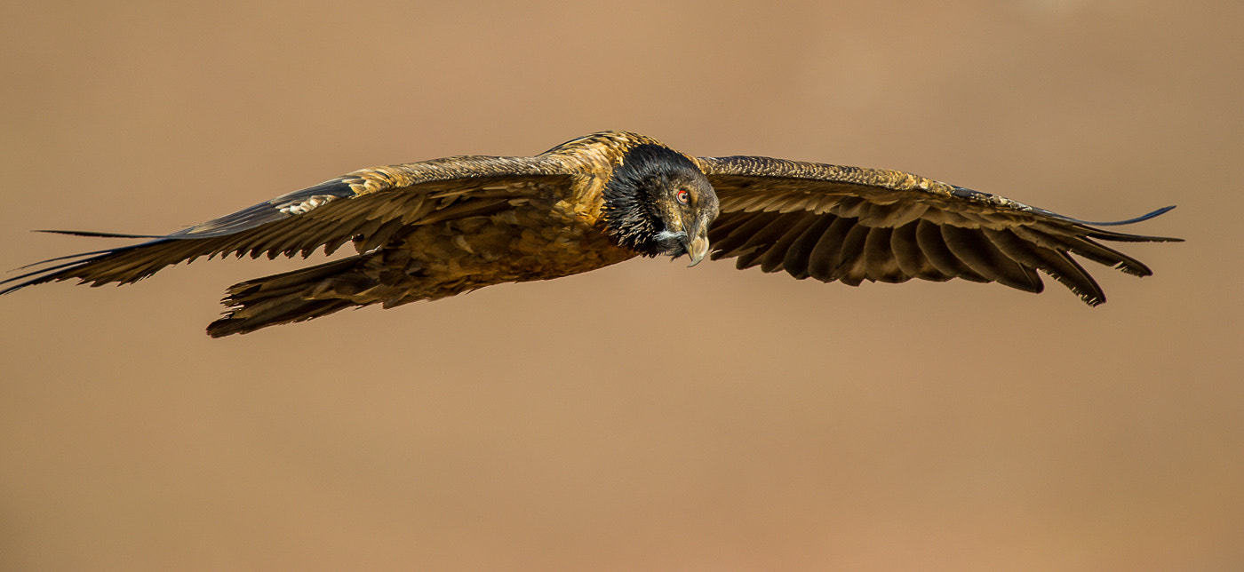 Photograph Juvenile Bearded Vulture by Bridgena Barnard on 500px