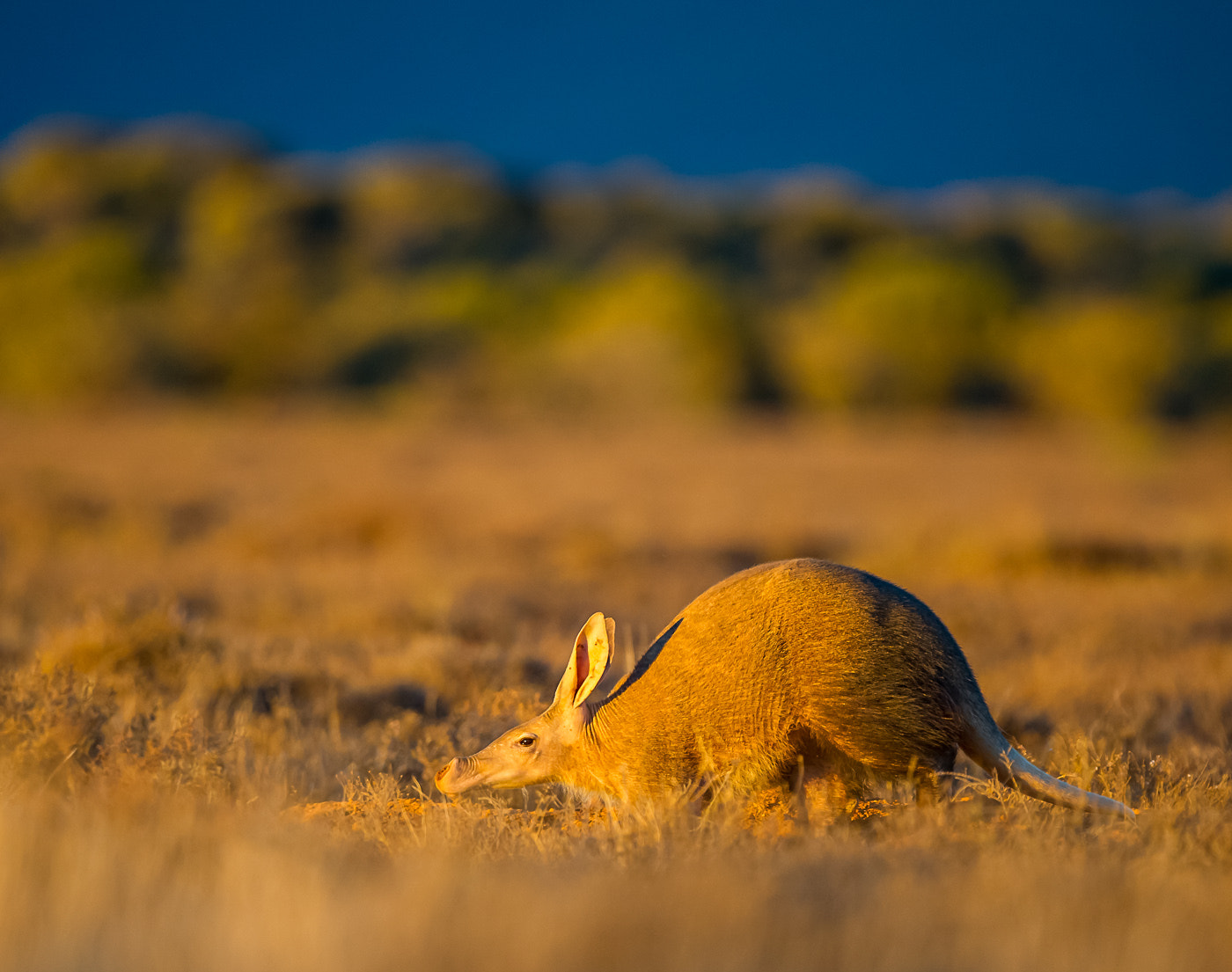 Photograph Aardvark by Bridgena Barnard on 500px