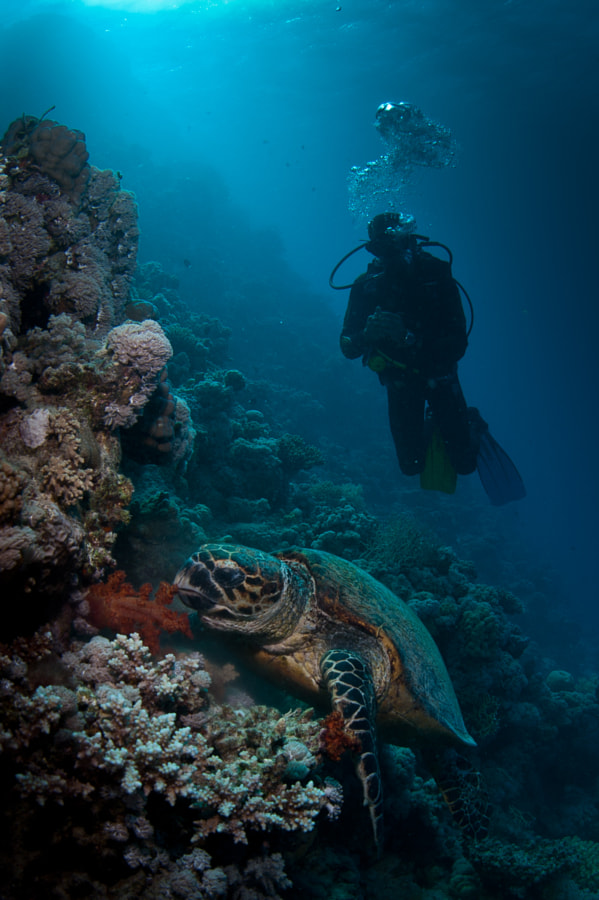 Turtle and Diver in Red Sea