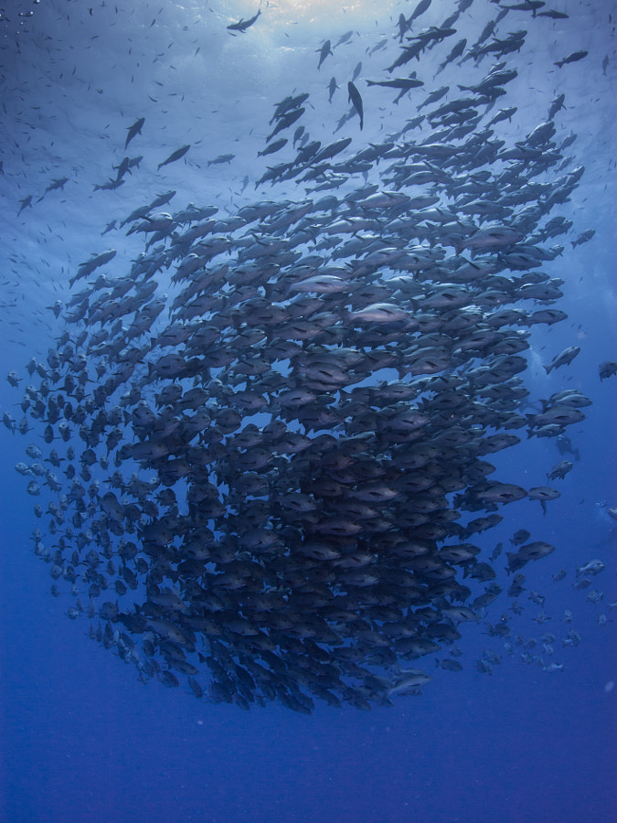 School of Snappers #1 at Ras Muhammad in Red Sea