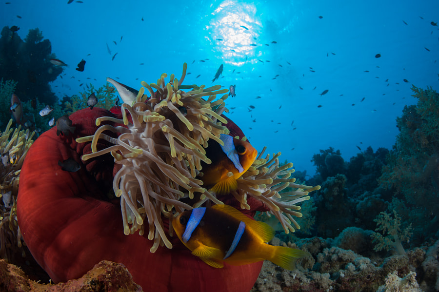 Clown Fish and Anemone in Red Sea