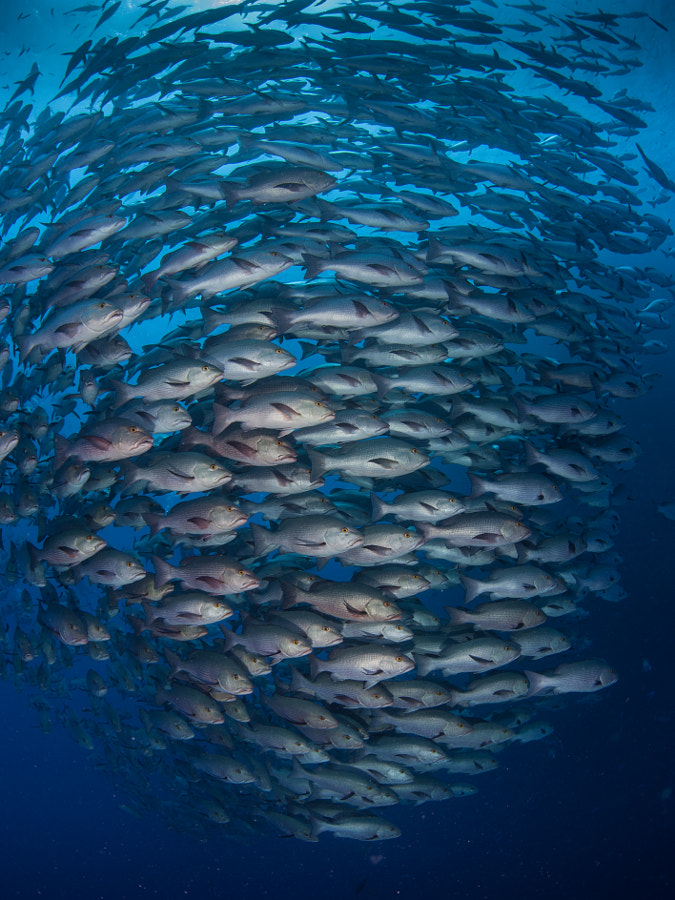 School of Snappers #2 at Ras Muhammad in Red Sea