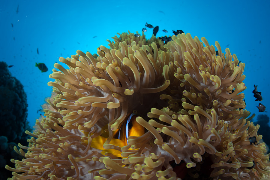 Clown Fish and Anemone #5 in Red Sea