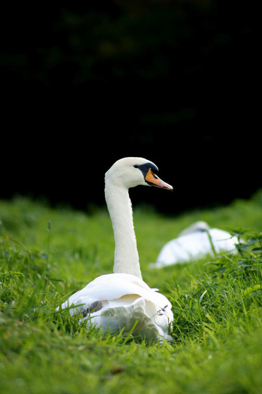 Photograph swan by Jos van Emst on 500px