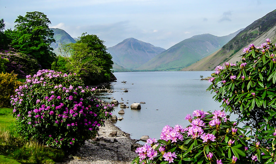 Wast Water with rhododendron